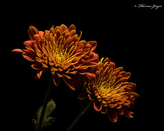 Committed 1025 Copyrighted (Tjerger) Tags: nature beautiful beauty black blackbackground bloom blooming blooms brown closeup duo fall flora floral flower flowers green macro mum orange pair plant portrait two wisconsin yellow couple mums committed natural