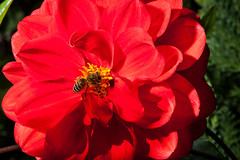 Macro-24726.jpg (CitizenOfSeoul) Tags: deutschland macro bee flower garten biene sersheim dahlien germany blumen