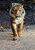 Sumatran Tiger (Steve Moore-Vale) Tags: sumatrantiger dudley zoo