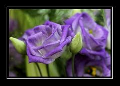 Pastel Purple (Audrey A Jackson) Tags: canon60d nature colour purple closeup petals buds 1001nights