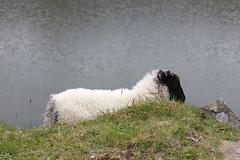 IMG_3289 (avsfan1321) Tags: ireland killaryfjord countygalway countymayo connemara wildatlanticway fjord lake water sheep