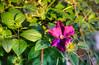 DMT_20170712183148 (Felicia Foto) Tags: garden macro flower floweringvine clematis outdoors sunny lateafternoon purple magenta allrightsreserved denisetschida nikon nikond600 d600 vine middletennessee backyard thompsonsstationtennessee williamsoncountytennessee geotagged 3xp highdynamicrange photomatix photoshop flora green tennessee hdr sunset seedheads
