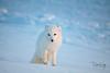 Unafraid Arctic Fox (blkwolf1017) Tags: arcticfox fox vulpeslagopus white snow redfox prudhoebay alaska canon50d sigma150500mm