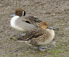 Pintails (brianwaller703) Tags: pintails