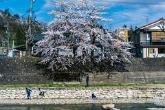 Under the tree (t-a-i) Tags: a7rii a7rmkii a7r2 cherryblossom ilce7rm2 japan sony sonya7rii sonyilce7rm2 sonyα7rii takayama tree voigtlander voigtlander50mmf15 voigtlandernokton50mmf15 voigtländer50mmf15 α7rii takayamashi gifuken jp