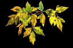 Leaflets Three Leave Them Be_MG_0018-1 (918monty) Tags: blackbackground yellowleaves autumnleaves yellow poisonivy poisonoak brightyellowleaves ngc