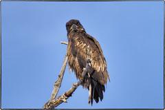 _B080892 (geelog) Tags: alberta baldeagle bowriver calgary fishcreekpark winter