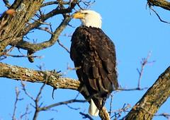 bald eagle near Ridgeway IA 854A4995 (lreis_naturalist) Tags: bald eagle ridgeway winneshiek county iowa larry reis