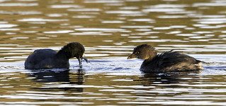 Coot & pied-billed grebe