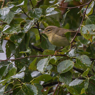 Willow Warbler (Northern)(Phylloscopus trochilus acredula)-9420