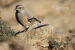 Cercavores (Prunella collaris) (socpep) Tags: canon tamron puigcecalm ornitologi ornitologia wildlife birds aus ocells ocell