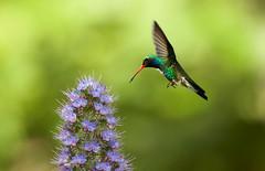 Broad-Billed Hummingbird (Thy Photography) Tags: broadbilledhummingbird animal avian fullframe flowers bird backyard california rarebird raresighting rare canon calfornia outdoor photography nectar fly