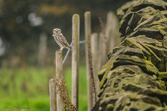 Little owl on fence in the rain..  05.11.17 (Lee Myers - aka mido2k2) Tags: red bbc bbcspringwatch springwatch little owl rural nature natural wild wildlife nikon nikkor d7100 200500mm countryfile