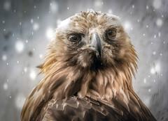 Snowbird (10000 wishes) Tags: eagle birdofprey portrait snow stare raptor season winter beauty naturephotography wildlifephotography snowfall