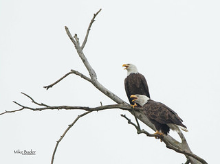 Courting Eagle Pair