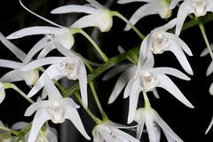 Dendrobium jonesii subspecies jonesii 2017-09-30 02 (JVinOZ) Tags: orchidspecies orchid australiannativeorchid australianepiphyticorchid dendrobium dendrobiumjonesiisubspjonesii thelychiton thelychitonjonesiisubspjonesii orchidaceae arfp qrfp tropicalarf arfflowers whitearfflowers arfepiphyte