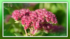 1 of 14 flowers, plants, animals in my garden October 2017 (10) (andantheandanthe) Tags: autumn october garden 2017 close closeups macro flower flowers plants red fall