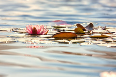 Water+Lily