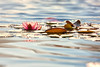 Water Lily (mclcbooks) Tags: flower flowers waterlily waterlilies lilypads pond reflections sun denverbotanicgardens colorado summer