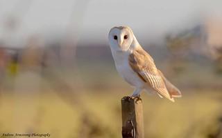 Barn Owl. Walton on the naze, Essex