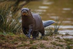 The River Wolf (Pteronura brasiliensis) (neil 36) Tags: south america pantanal mustelidae social species freshwater streams rivers carnivores ariranha apex predator river wolf piranha riverbanks