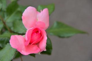 Rose de Molinard