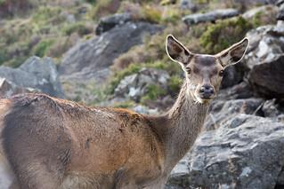 red deer doe