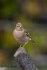 xxD40_9184 (Eyas Awad) Tags: eyasawad nikond4 sigma500f45 nikond800 nikonafs300mmf4 bird birds birdwatching wildlife nature fringuello fringillacoelebs