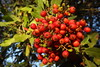 Thanksgiving bounty (Jeff Goddard 32) Tags: november flora midlandschoolproperty santabarbaracounty toyon heteromelesarbutifolia berries