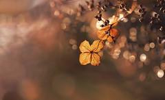 Bathed in light (charhedman) Tags: sendallgardens langley driedhydrangea bokeh thelightshiningonthedriedflowersmesmerizedme golden sunshine notrainingforafewhours raindropbokeh