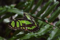 Mariposa / Papillon / Butterfly (Tato Avila) Tags: colombia colores cálido alas animal vida naturaleza nikon medellín antioquia haciendanapoles mariposa butterfly papillon
