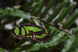 Mariposa / Papillon / Butterfly