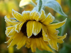 A TOUCH OF FROST ON A SUNFLOWER_A310124 (hans 1960) Tags: frost cold kalt autumn herbst sunflower sonnenblume blume blossom gelb yellow farbe colour soft nature natur germany outdoor macro flora weather sugar