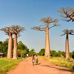 Baobabs thumbnail