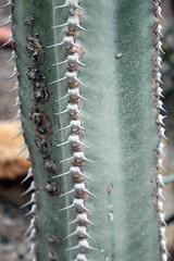 Euphorbia ammak Schweinf. - Orto Botanico di Cagliari - Sardinia