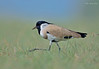 Marching On... (Anirban Sinha 80) Tags: nikon d610 fx 500mm f4 ed vrii n g bokeh bird lapwing marching grass habitat composition natural