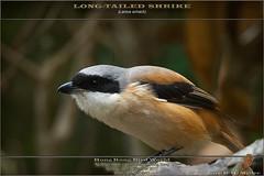 20171126-_5008176-SHRIKE-Long-tailed-0848 (guy.miller) Tags: longtailed shrike birds lamma hk hong kong guy miller