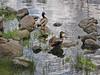 Stepping Stones for Ducks (ParkerRiverKid) Tags: ducks mallard steppingstones ansh83 scavenger4