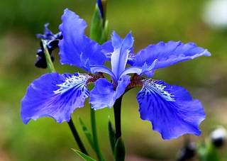 Iris flower - Wesetern Himalayas ~1800m Altitude