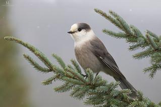 Gray jay - Mésangeai du Canada - Perisoreus canadensis