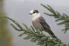 Gray jay - Mésangeai du Canada - Perisoreus canadensis (Maxime Legare-Vezina) Tags: oiseau bird passion nature wild wildlife faune québec canada canon