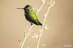 Close-Up (matthewolsonphotography.com) Tags: hummingbird annashummingbird bird birdwatching wildlife audubon birds outdoor animals arizona chandler az colorful