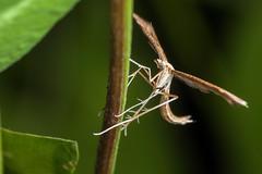Plume - _TNY_1323 (Calle Söderberg) Tags: macro canon canon5dmkii canonef100mmf28usmmacro canoneos5dmarkii raynox dcr250 flash meike mk300 glassdiffusor insect moth plumemoth fjädermott pterophoridae f22