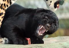 jaguarcub artis BB2A4454 (j.a.kok) Tags: jaguar jaguarcub jaguarwelp pantheraonca artis animal cat kat zuidamerika southamerica rica mammal zoogdier dier