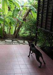 hersey and the python (the foreign photographer - ฝรั่งถ่) Tags: hersey dog python snake our house bangkhen bangkok thailand sony
