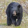 Big Guy (vishalsubramanyan) Tags: bear blackbear adult jasper nationalpark alberta nikon d500 200500 nikon200500 nikond500 wildlife nature wildlifephotography naturephotography