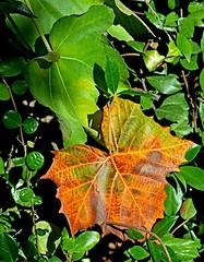 Leaf of many colors (mariposa lily) Tags: leaf leaves sycamore sycamoreleaf sycamoreleaves autumn autumncolors fall fallcolor fallcolors autumncolor nikon nikond3300 d3300 garden gardening