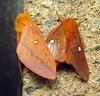 bug of the day (urtica) Tags: mylesstandishstatepark carverma carver ma massachusetts usa bugoftheday insect moth lepidoptera saturniidae anisota anisotasenatoria orangetippedoakworm