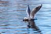 Délicatesse - Sensitivity (bboozoo) Tags: nature animal wildlife mouette seagull canon6d tamron150600 lac lake