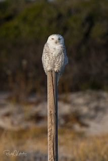 Snowy Owls of New Jersey | 2017 - 8